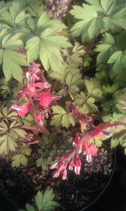 Plant of the week – Dicentra spectabilis 'Valentine'
