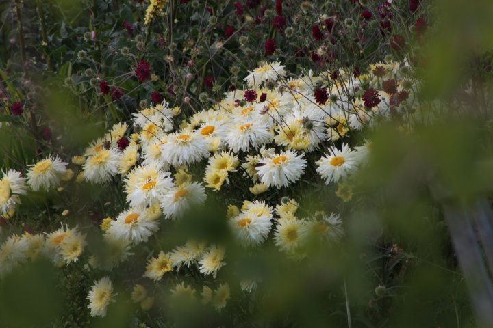 ChrysantheumGoldraush