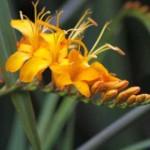 Crocosmia-Rowallane-Yellow
