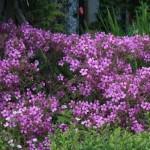 Geranium-palmatum
