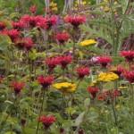 Mondarda-Gardenview-Scarlet