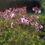 Geranium x cantabriegense 'Karmina'