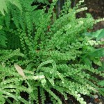 Athyrium Frizelliae