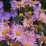 Chrysanthenum Clara Curtis