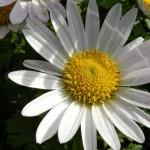 Chrysanthenum Weyrichii