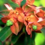 EuphorbiaDixter