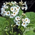 PrimulaJaponicaAlba