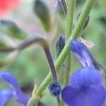 SalviaBlueNote