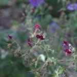 Geranium-phaeum-Springtime