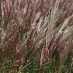 Miscanthus-sinensis-Red-Chief