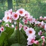 Primula-japonica-White-Mink