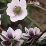Anemone-rivularis