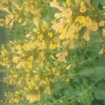 Agastache-x-Kudos-Yellow