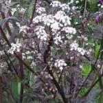 Anthriscus-sylvestris-Ravenswing