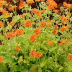 Geum-Sunkissed-Lime