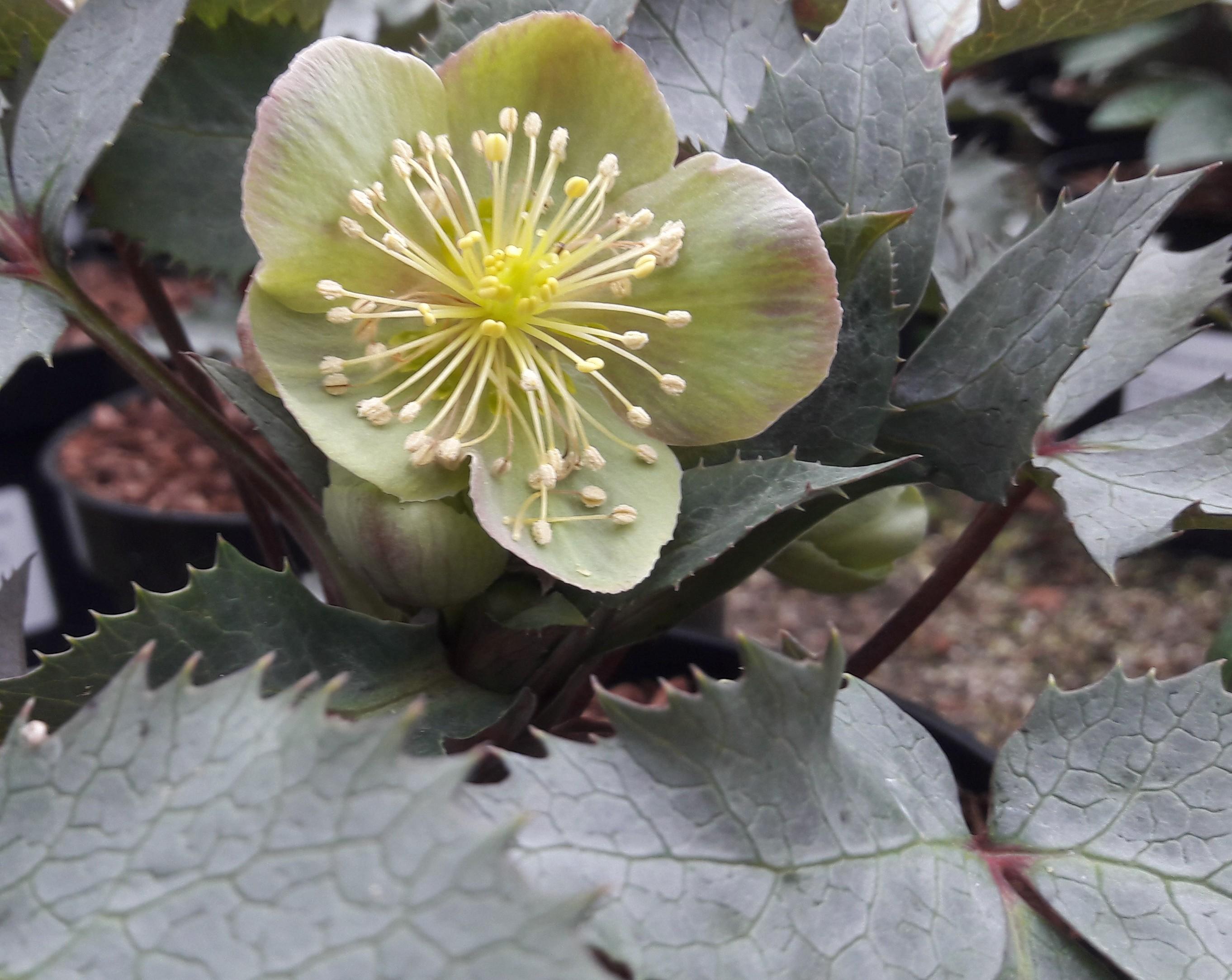 Helleborus lividus 'Silver and Rose'